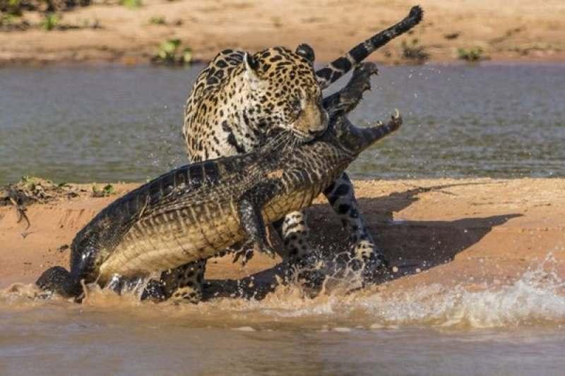 Ягуары и Амазонка